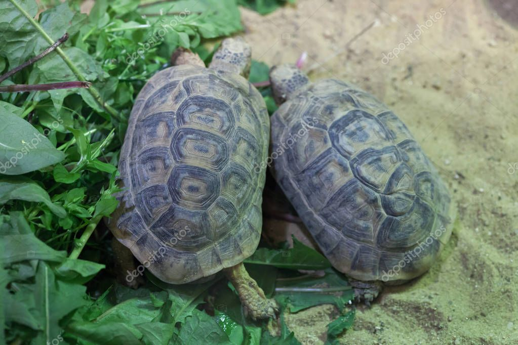 Russian tortoises (Agrionemys horsfieldii)
