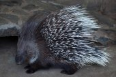 Indian crested porcupine (Hystrix indica)