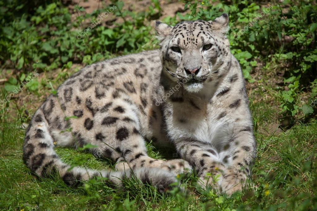 Snow leopard (Panthera uncia).