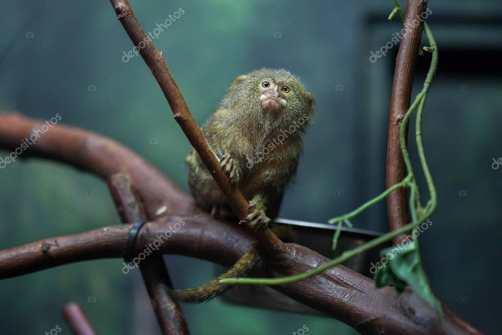 Pygmy marmoset (Cebuella pygmaea).
