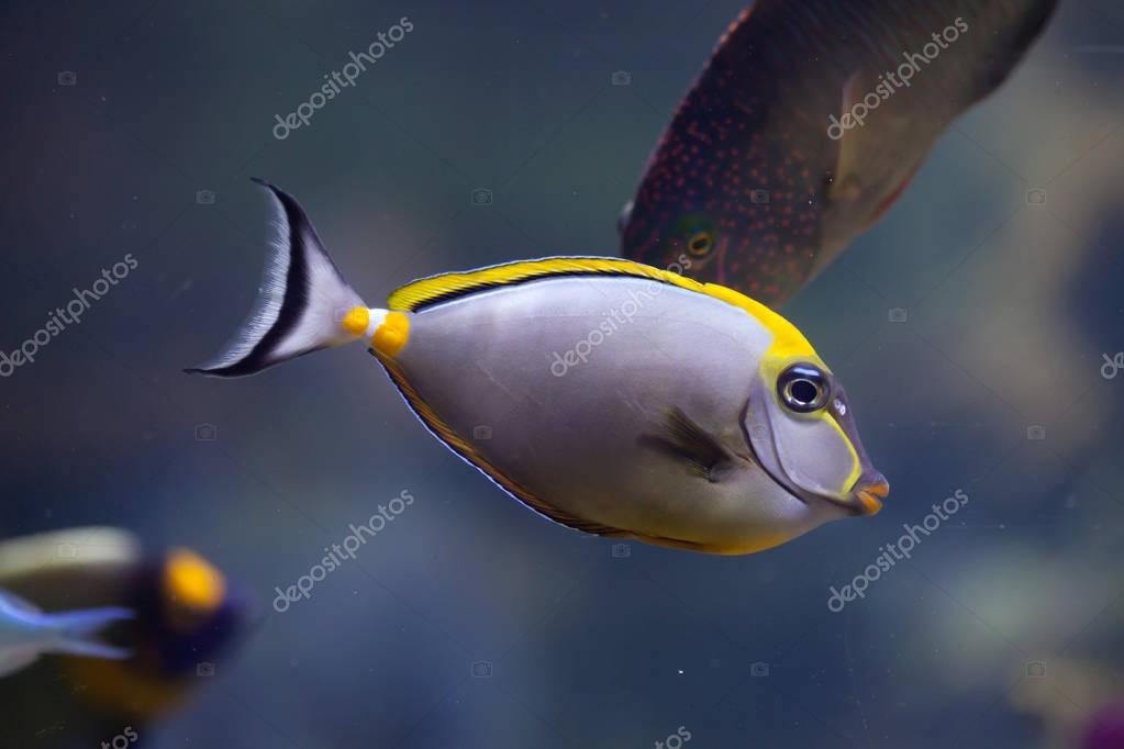 Orange-spine unicornfish (Naso lituratus)