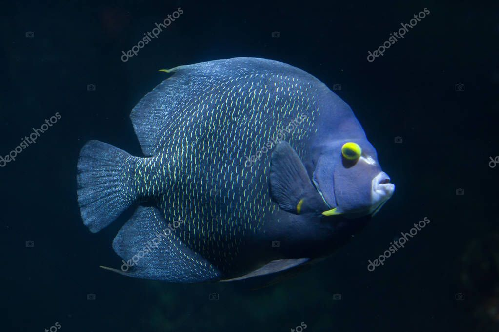 French angelfish (Pomacanthus paru).