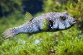 Fényképek fehér Gyöngyös gömbhal