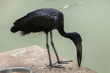 African openbill in zoo