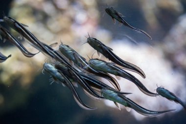 Striped eel catfishes