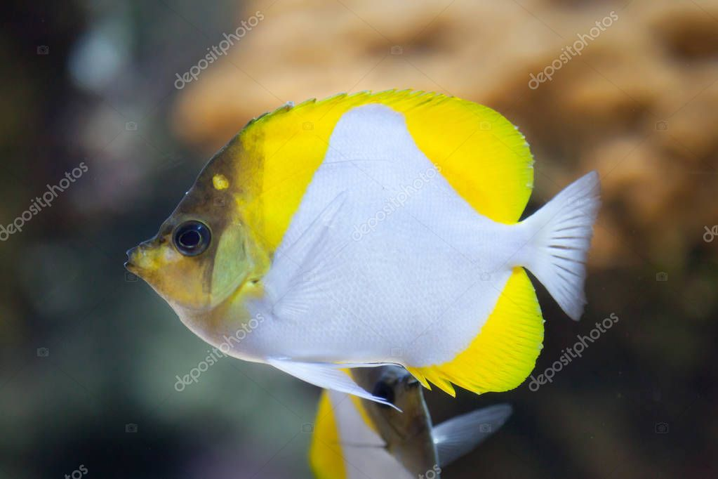 Pyramid butterflyfish in aquarium