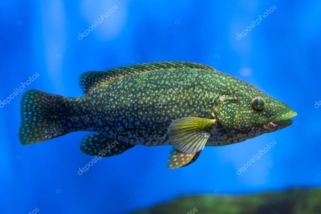 Ballan wrasse in aquarium