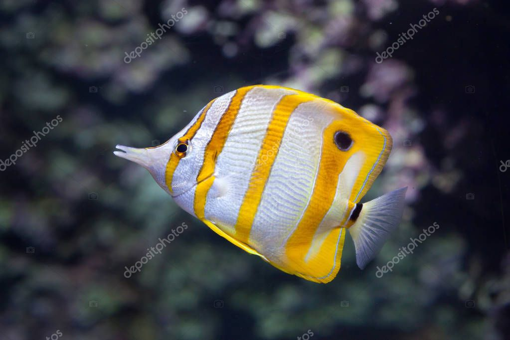 Copperband butterflyfish in aquarium