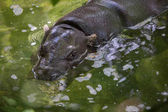 Pygmy hippopotamus swimming