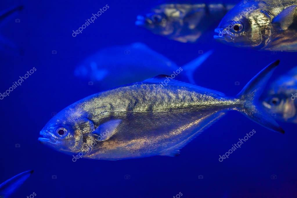 Atlantic horse mackerels
