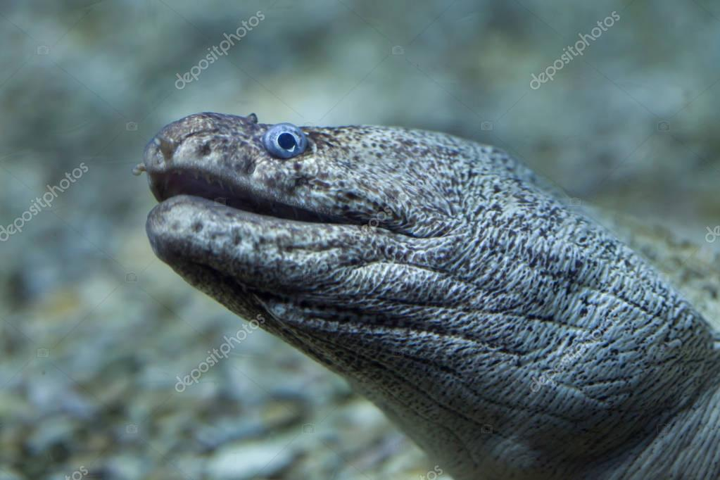 Mediterranean moray in aquarium