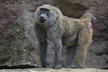 Olive baboon standing on rocks