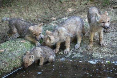little Arctic wolfs
