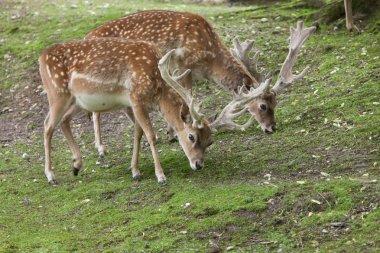 Persian fallow deers (Dama dama mesopotamica). stock vector