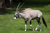 Gemsbok (Oryx gazella gazella))