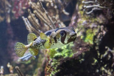 Longspined porcupinefish (Diodon holocanthus)