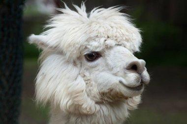 Llama (Lama glama).
