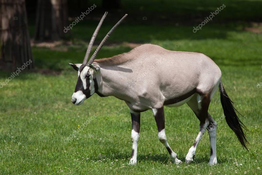 Gemsbok (Oryx gazella gazella)