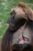 Fotografie Gelada baboon (Theropithecus gelada)