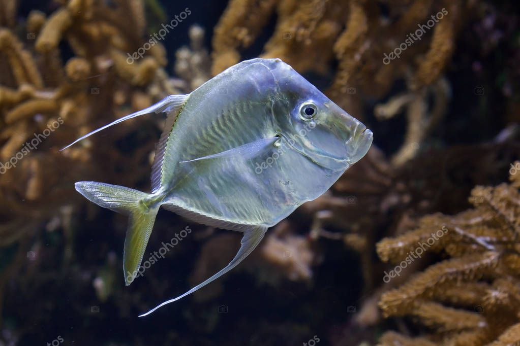 Lookdown Marine fish