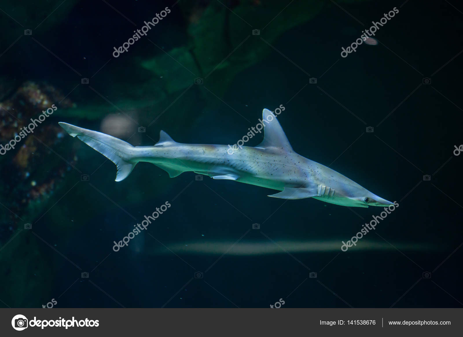 Bonnethead shark (Sphyrna tiburo) — Foto de stock © wrangel #141538676