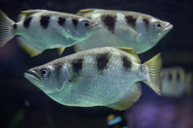 Banded archerfishes (Toxotes jaculatrix)