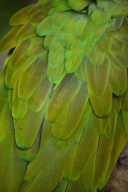Green military macaw feathers