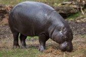 Fotografie Pygmy hippopotamus (Choeropsis liberiensis)