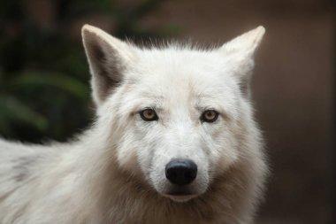 Melville Island wolf