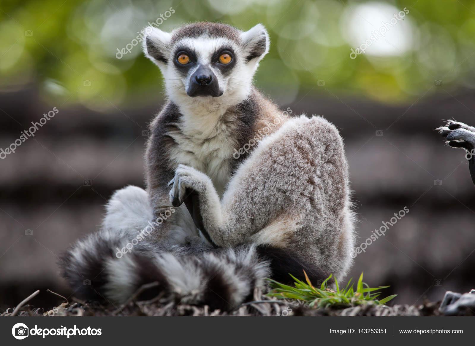 ring tailed lemur lemur catta ストック写真 wrangel 143253351