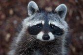 Photo Raccoon (Procyon lotor)