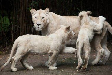 White lions (Panthera leo krugeri)