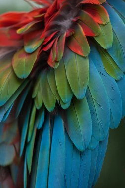 Green-winged macaw background