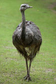 Fotografie Amerikanische größere rhea
