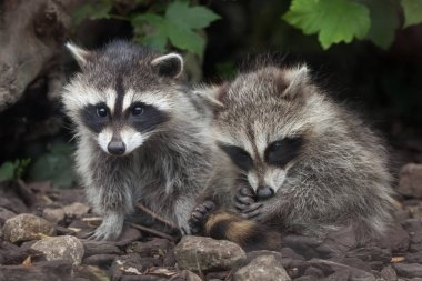North American raccoons