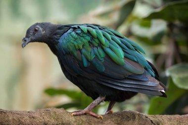 Wild Nicobar pigeon