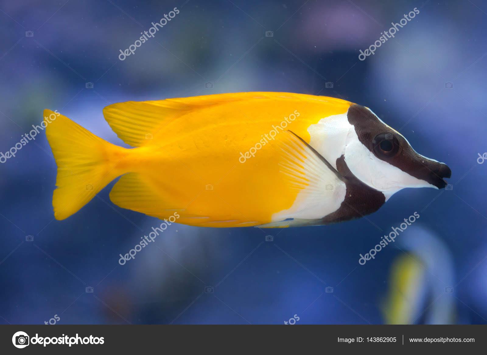 foxface rabbitfish siganus vulpinus ストック写真 wrangel