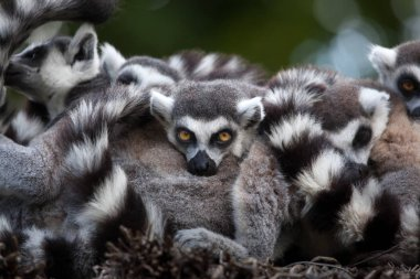 funny Ring-tailed lemurs