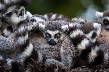 Funny Ring-tailed lemurs (Lemur catta), Wildlife animals stock vector