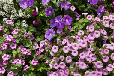 Petunia flowers texture Background