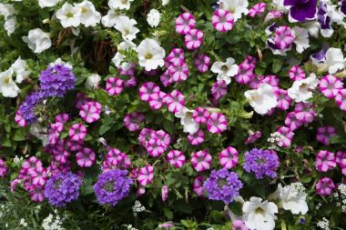 Colorful petunia flowers.