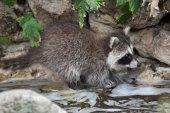 Photo wild Newborn raccoon