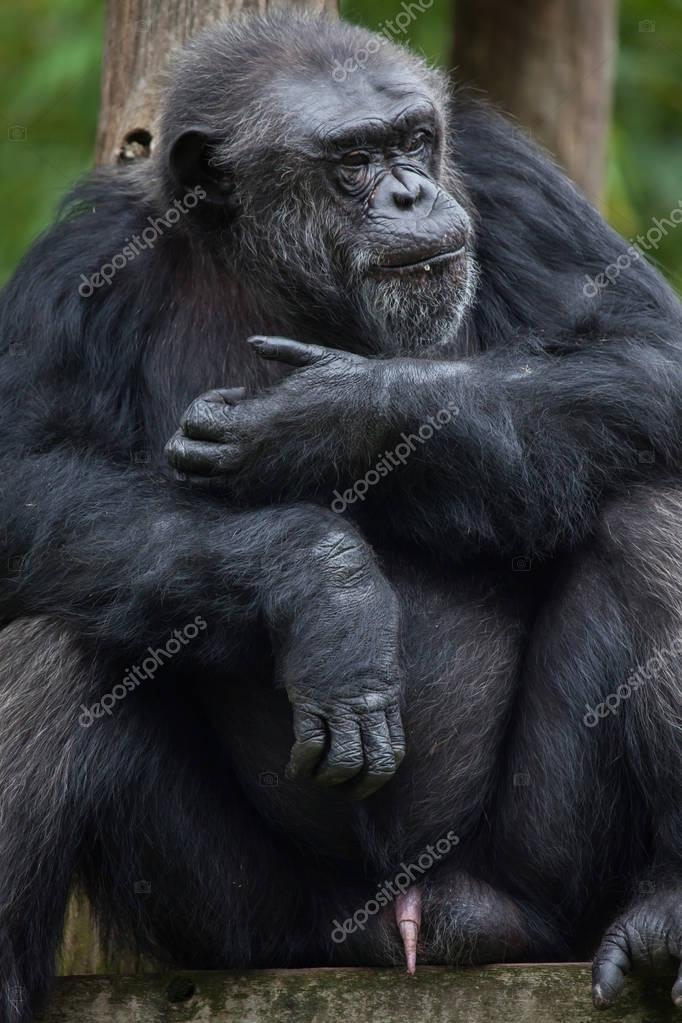 wild Common chimpanzee