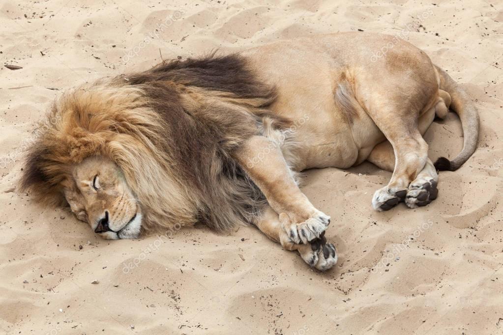 sleeping wild Lion