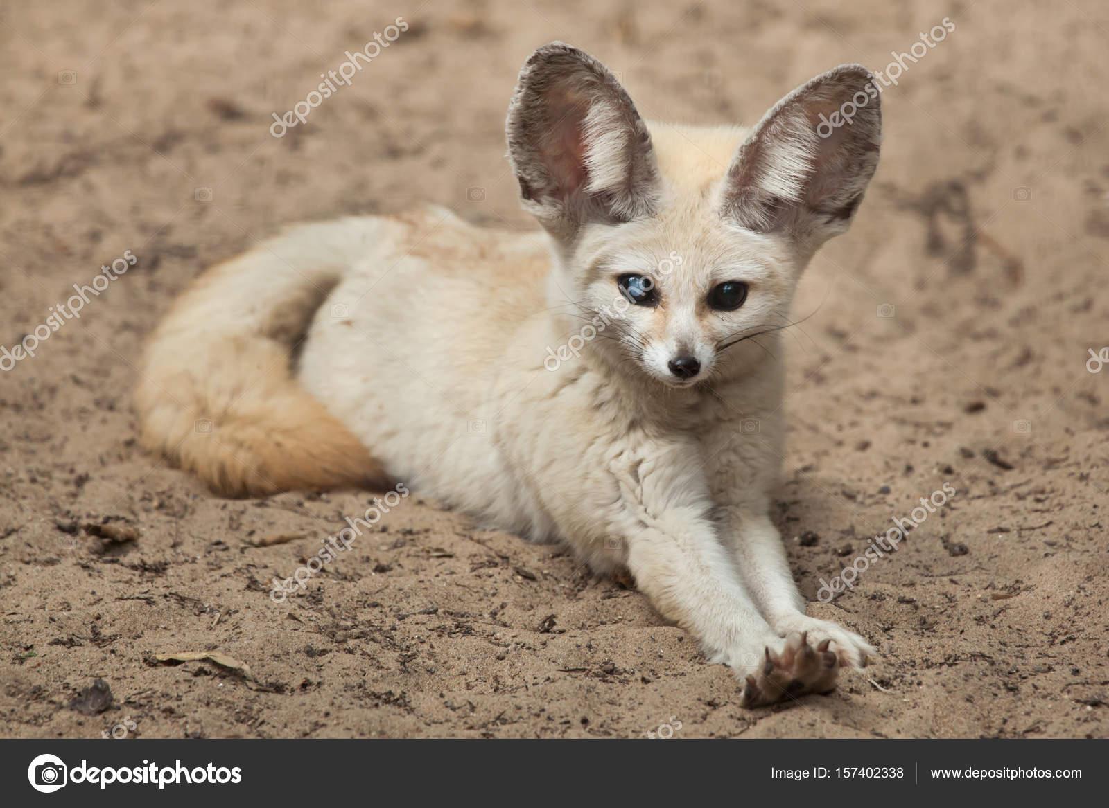 Vulpes wrangel 157402338 - Pagina da colorare fennec fox ...