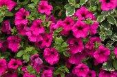 Photo Petunia flowers background