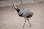 Fotografie Greater rhea (Rhea americana)