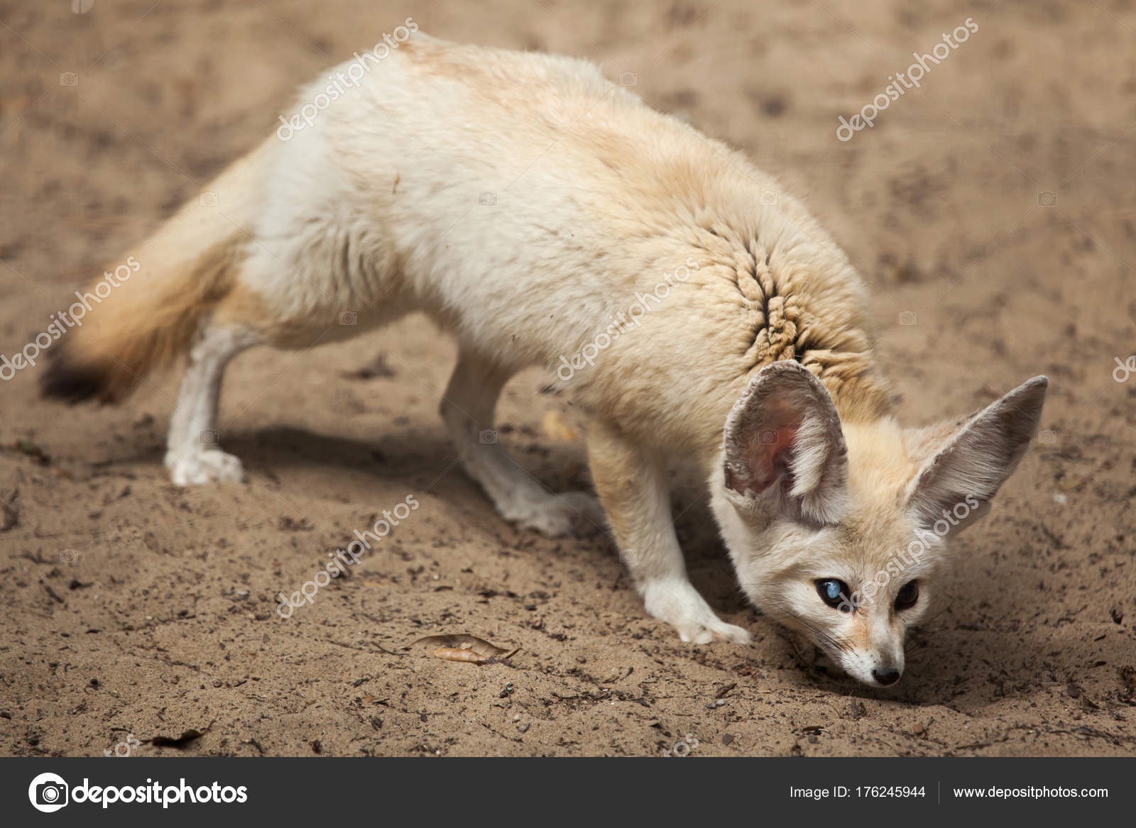 cute fennec fox stock photo wrangel 176245944