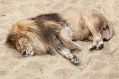 Lev (Panthera leo). Divoké zvíře