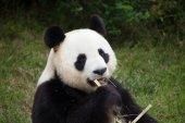 Photo Giant panda (Ailuropoda melanoleuca). Wildlife animal.
